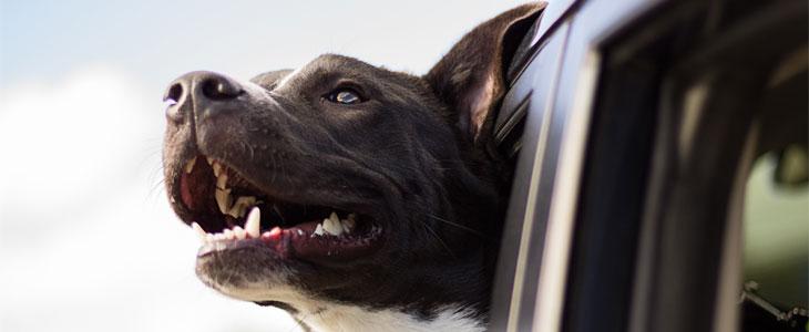 cane-bau-macchina